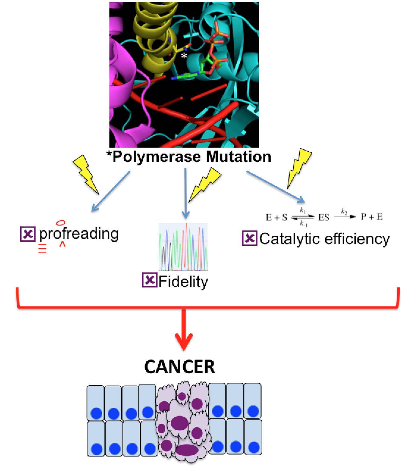 polymerase mutation and cancer